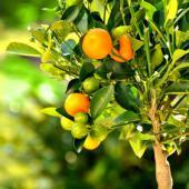citrus mitis