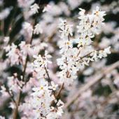 forsythia blanc