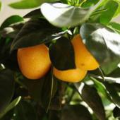 oranger d'appartement