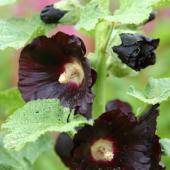 rose tremiere noire