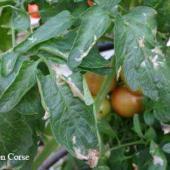mineuse de la tomate