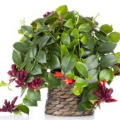 plante interieur retombante