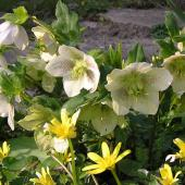 Hellebore fleur jardin