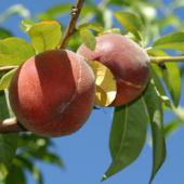 peche nectarine