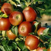 pommes-delbard-jubile-delgollune_botanic