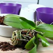 Rempotage orchidee