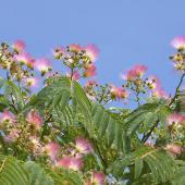 arbre a soie