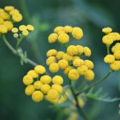 Immortelle d'Italie - plante a curry