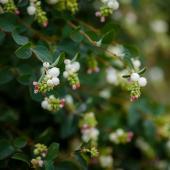 Symphorine arbuste