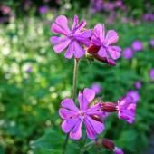 Geranium robertianum bienfaits