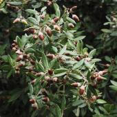 Quercus Ilex arbre