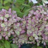hortensia-paniculata-pastel-green