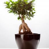 Ficus Ginseng culture conseils