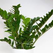 Zamioculcas plante entretien