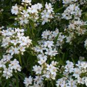 choisya aztec pearl