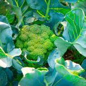 brocoli culture