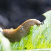 anti limace escargot