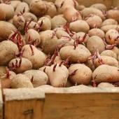 pomme de terre a planter germe