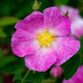 rose medicinale Rosa gallica