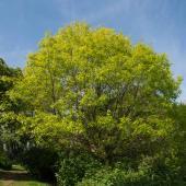 Quercus coccinea chene ecarlate