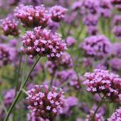 Verbena bonariensis - verveine buenos aires