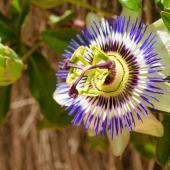 Passiflore plante