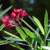 plantes toxiques jardin