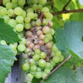 pourriture grise blanche sur raisin - symptome pourriture grise fraise - Botrytis