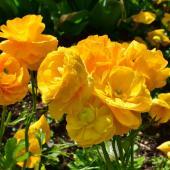 Renoncule fleur plante