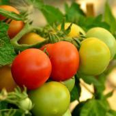 Comment Faire murir tomate verte