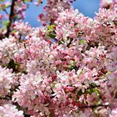 Pommier du Japon - malus floribunda