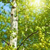 Bouleau arbre