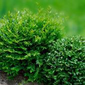 Lonicera nitida - chevrefeuille arbustif a feuilles de buis