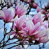 magnolia arbre