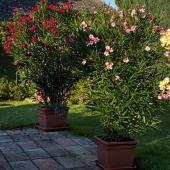 Laurier rose en pot