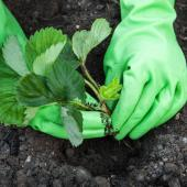 Planter plantation fraisier