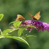 Arbre a papillon