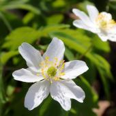 Anemone des bois - Anemone Sylvie