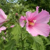 Hibiscus moscheutos - Hibiscus des marais
