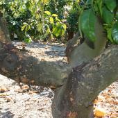 mildiou des agrumes traitement