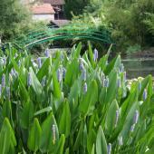 Plante aquatique bleu
