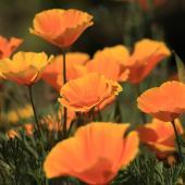 Pavot de Californie - Eschscholtzia californica