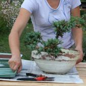 Rempotage du bonsaï