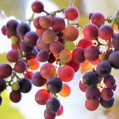 Vigne Fragola Nera - vigne fraise