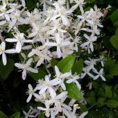 clematite a petite fleur