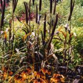 Pennisetum Rudbeckia.