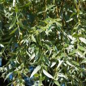 Saule blanc argenté - Salix alba
