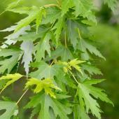 Acer saccharinum - erable argente