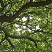 arbre ombre ombrage