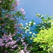 arbuste a fleur croissance rapide